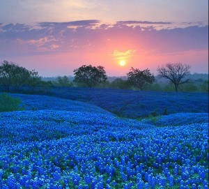 Bluebonnet-Field-in-Ellis-County-Texas