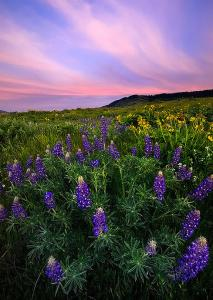 HL lupine sunset