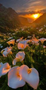 mountainside calla lillies