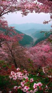 pink blossoms on mountain